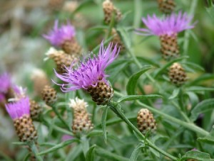 Meadow knapweed