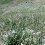 White-top or Hoary cress