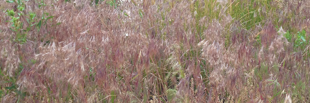 Reddish tint makes cheatgrass easy to identify in early Summer