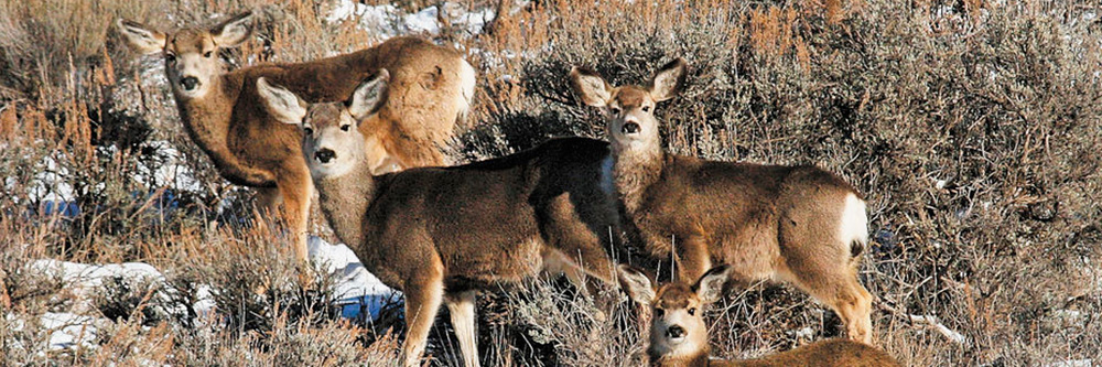 Healthy native grasses yield healthy mule deer