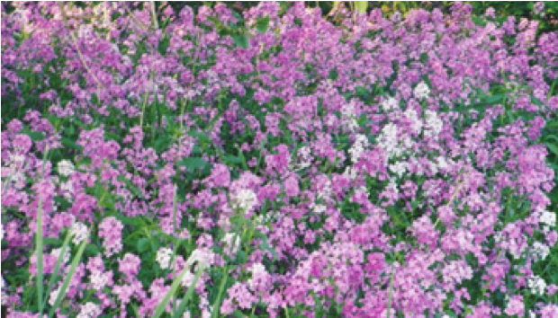 Julys weeds of the month dames rocket and leafy spurge teton dames rocket forms dense stands of purple pink and white flowers that may look good in a garden bed but not in a native plant community mightylinksfo