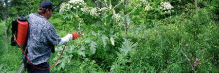 Giant Hogweed and Cow Parsnip: Which is Which and Why You Should Care