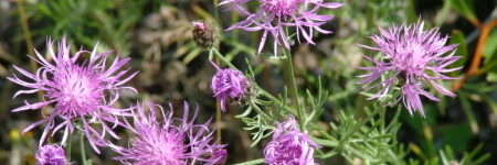 August's Weeds of the Month: Field Bindweed &  Spotted Knapweed