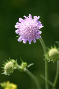 Invasive Species - Field Scabious
