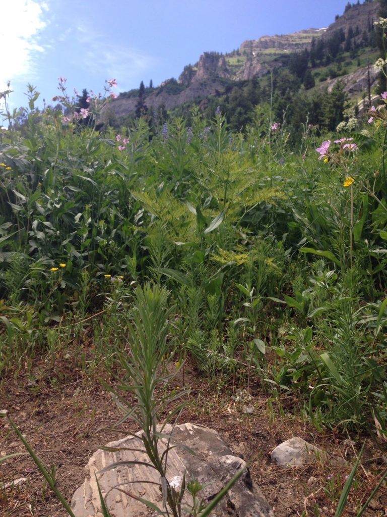 JHWMA Caribou/Targhee Teton National Forest - Weed in Forest image