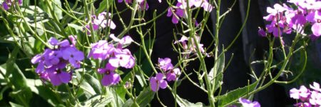 Weed of the Month: Dames Rocket
