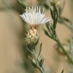 Diffuse-knapweed
