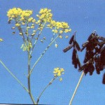 Dyer's-Woad