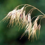 Cheatgrass Noxious Weed