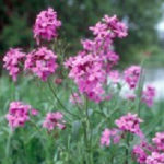 Dame's Rocket Noxious Weed
