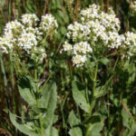 Whitetop Noxious Weed
