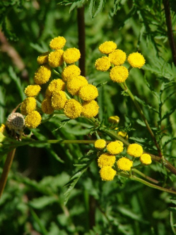 Invasive Species - Common Tansy