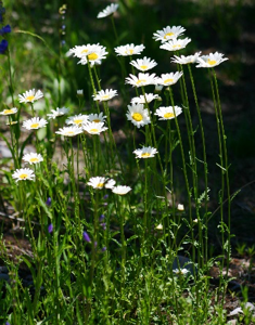 Invasive Species - Oxeye Daisy