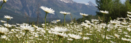 Weed of the Month: Oxeye Daisy
